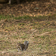 Gray squirrel gathering nuts for the oncoming winter