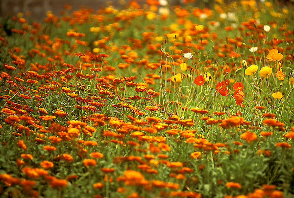Stock photo of a field of flowers.