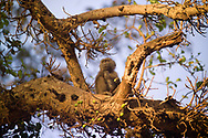 A baboon watches the sun rise from a tree branch near Lake Manyara, Tanzania. Lake Manyara is a shallow fresh-water lake said by Ernest Hemingway to be the loveliest lake in Africa.  Lake Manyara is a large tourist attraction for people going on safari in the Arusha area.