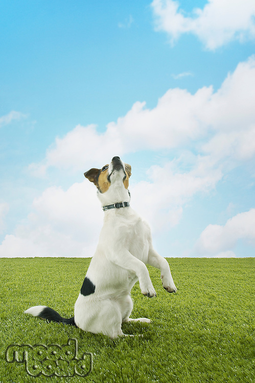 Jack Russell terrier standing on hind legs