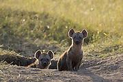 Spotted Hyena<br /> Cubs at den<br /> Masai Mara, Kenya