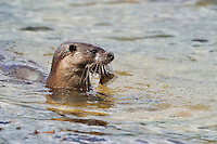 Juvenile Otter close to shore with Flounder / Flatfish,<br /> Lutra lutra,<br /> Loch Sunart, Scotland - June