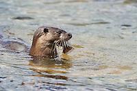 Juvenile Otter close to shore with Flounder / Flatfish,<br /> Lutra lutra,<br /> Loch Sunart, Scotland - June