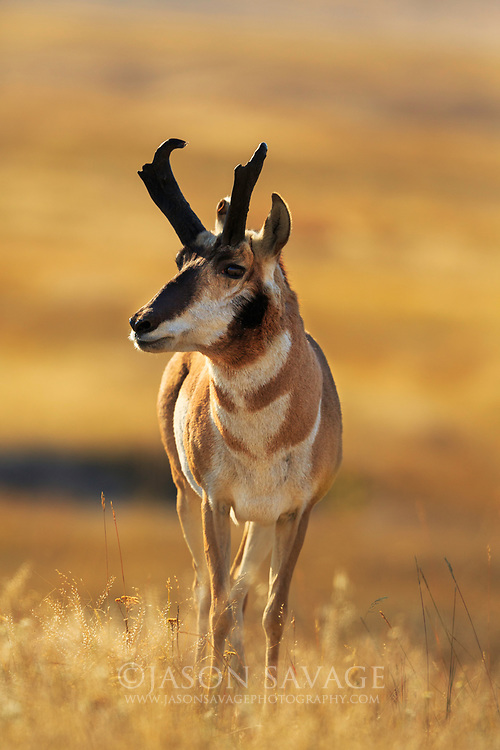 Pronghorn on Montana National Bison Range.