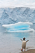 Gentoo penguin throws wings back in celebration after returning to land, ice sculptures are in the back ground.