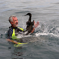 South America, Ecuador, Galapagos Islands. Snorkeller has unexpected face to face encounter with a flightless cormorant upon entering the waters at Punta Vicente Roca on the northwestern tip of Isabela Island.
