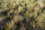 Bluebunch wheatgrass in the spring in the palouse prairie grasslands near Polson Montana