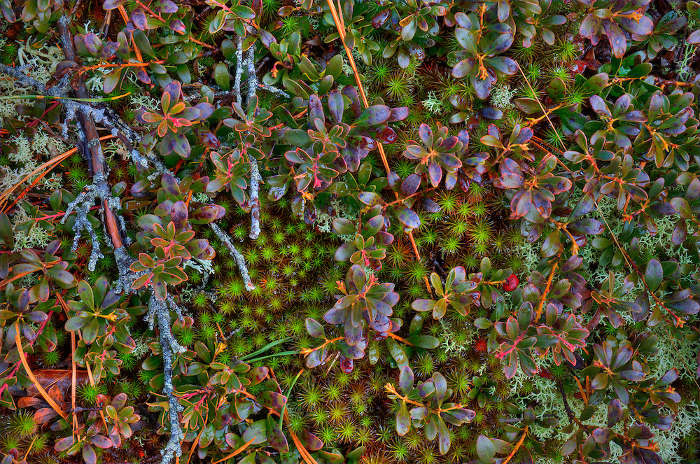 Ground cover plants in the Pitch Pine forests of the Cape Cod National Seashore Provincelands dune system.