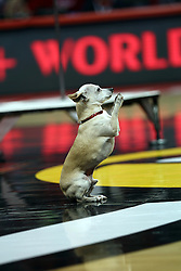 """14 February 2015:   Christian Stoniev is an entertainer performing feats of strength with hand stands and power gymnastic moves.  He and his dog Snoopy were runner ups on the talent television show """"America's Got Talent""""  The human-canine duo performed before a crowd at half time of an NCAA MVC men's basketball game between the Wichita State Shockers and Illinois State Redbirds inside of Redbird Arena in Normal Illinois"""