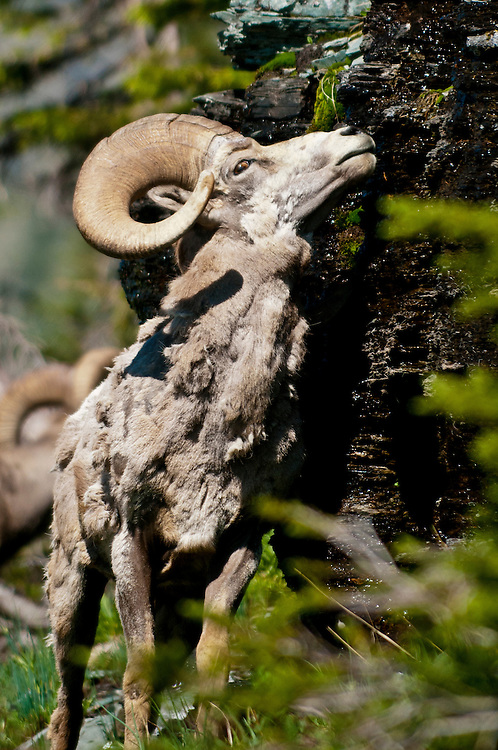 Bighorn Sheep, Ovis canadensis canadensis, in Glacier National Park, Montana on July 12, 2012.  (Photo by Aaron Schmidt © 2012)