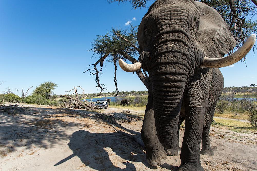 Africa, Botswana, Makgadikgadi Pans National Park, Remote camera view of Bull Elephant (Loxodonta africana) walking along Botete River