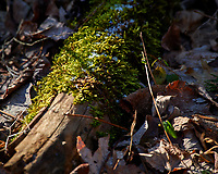 Log covered with moss and ice at the Sourland Mountain Preserve. Winter Nature in New Jersey. Image taken with a Nikon D3x camera and 80-400 mm VR lens.