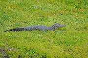 An alligator during the final round of the IOA Golf Classic at Alaqua Country Club on March {today day}, 2014 in Longwood, Florida.<br />