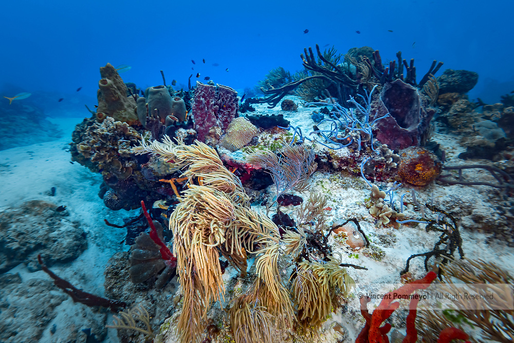 Pipe sponge and reef- Eponge tubulaire et recif (Porifera), Cozumel, Yucatan peninsula, Mexico.