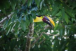 Chestnut mandibled  toucan, Corcovado National Park, Osa Peninsula, Costa Rica