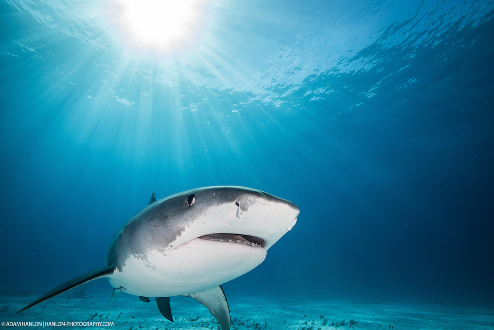 "A tiger shark (Galeocerdo cuvier) ""smiles"" as it moves among the sun's rays at Tiger Beach, Grand Bahama."