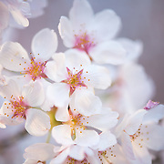 Close-up of the cherry blossom flowers around the Tidal Basin in Washington DC during the annual bloom in the spring
