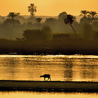"""Nile Lechwe Walking Along Nile River at Sunset near Kom Ombo, Egypt <br /> The Nile flows over four thousand miles from Alexandria to Aswan. This distance makes it the world's longest river. For Egyptian towns, this is the primary water source for transportation and farming. Its annual flooding supplies silt and irrigation creating a fertile path through the desert. Along the riverbanks, the farm buildings, practices, crops and free-roaming animals appear little changed since ancient times. This female Nile lechwe – an endangered species of antelope - was meandering along at sunset. I call this photo, """"Rush Hour on the Nile."""""""