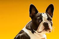 French Bulldog on yellow background