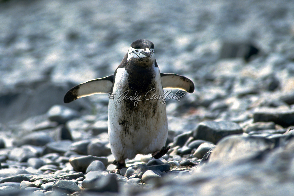 Dirty Chinstrap Penquin walking on rocks, Anarctica. Pygoscelis antarctica