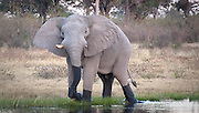 Elephant emerging from water, Okavango Delta, Botswana