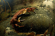 European edible crab (Cancer pagurus) (dt. Taschenkrebs)