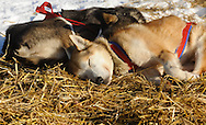 Dogs in Ray Redington Jr's team sleep in the sun during a break in Nikolai.