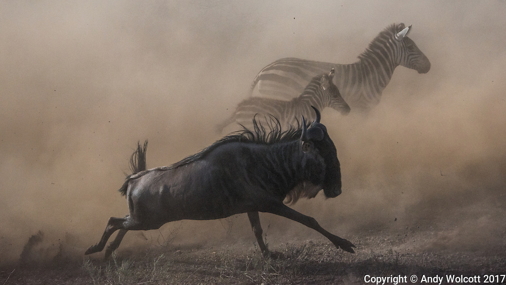Blue Wildebeest, aka Brindled Gnu, White-bearded Wildebeest (Connochaetes Taurinus)<br />
