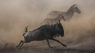 Blue Wildebeest, aka Brindled Gnu, White-bearded Wildebeest (Connochaetes Taurinus)<br /> Wildebeest can detect rain up to 30 miles away - they follow the rain, and the resulting new grasses, across the Serengeti, into the Ngorongoro Conservation Area (Ndutu) and back north to the Masai Mara in Kenya - The Great Migration.  Wildebeest travel over 1000 miles a year in search of the best grass.