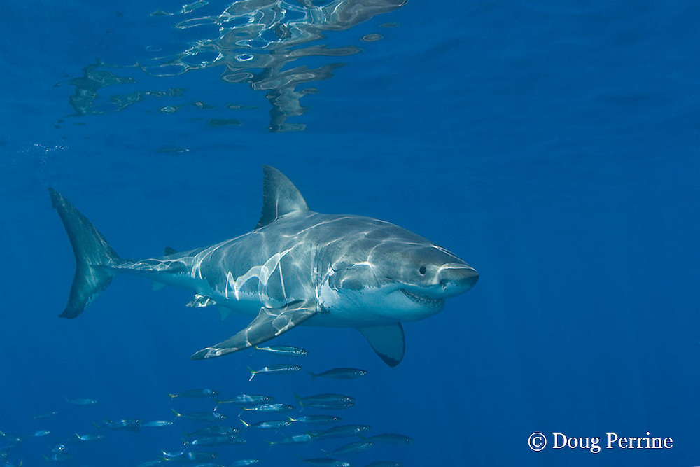 great white shark, white pointer or blue pointer, Carcharodon carcharias, with scars on face & gill area, and scad, Decapterus sp., Guadalupe Island, Mexico ( Eastern Pacific Ocean )