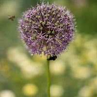 Allium flowers in a garden