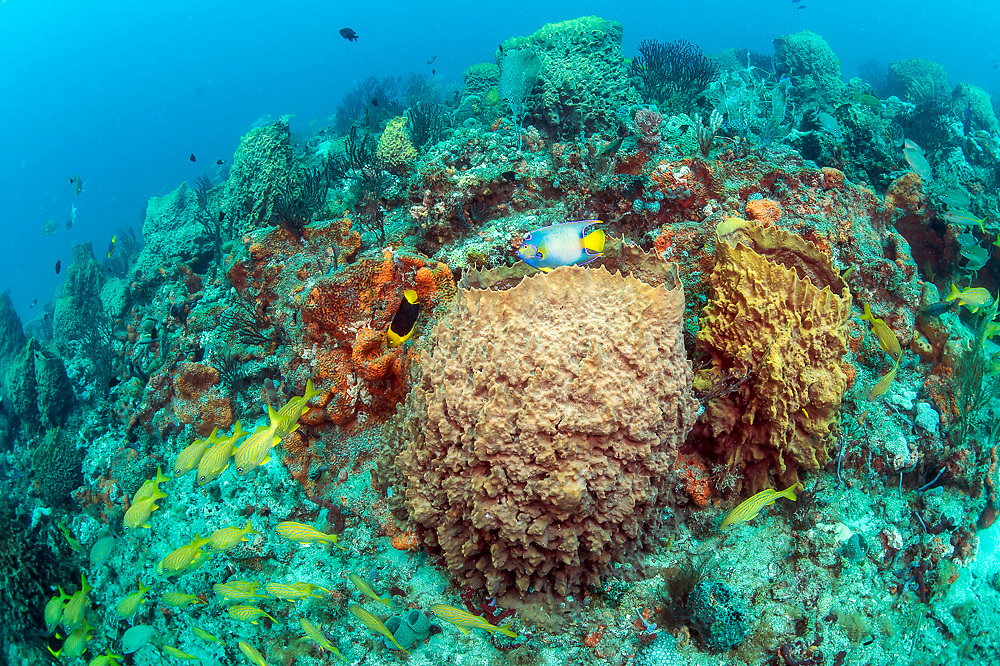 A Queen Angelfish, Holacanthus ciliaris, swims among Barrel Sponges, Xestospongia sp, on the Breakers Reef offshore Palm Beach, Florida, United States.