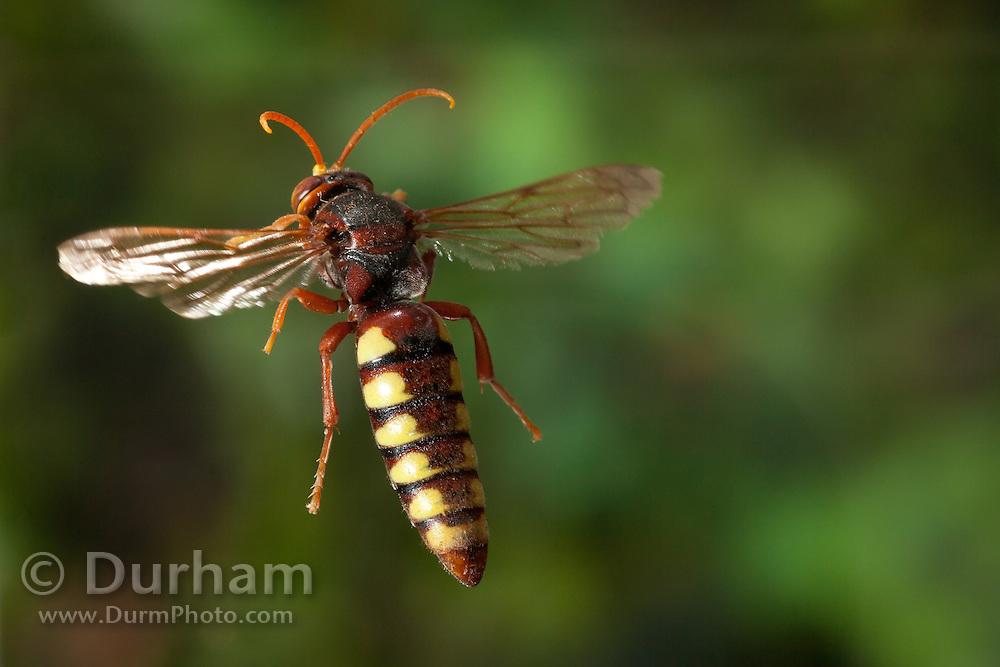 A crabronid wasp photographed in Matobo National Park, Zimbabwe. © Michael Durham / www.DurmPhoto.com.