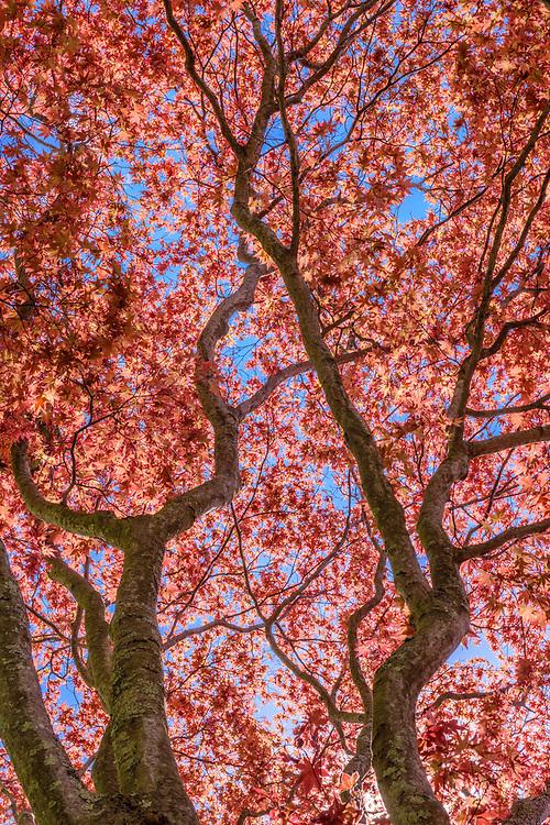 Japanese Red Maple Tree, Acer palmatum var. atropurpureum, Southampton, NY