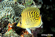 sunset butterflyfish or dot and dash coralfish, Chaetodon pelewensis, Great Barrier Reef, Australia ( Western Pacific Ocean )