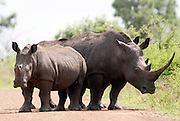Two rhino's and a young calf seen in the Kruger national park, South Africa...© Zute Lightfoot