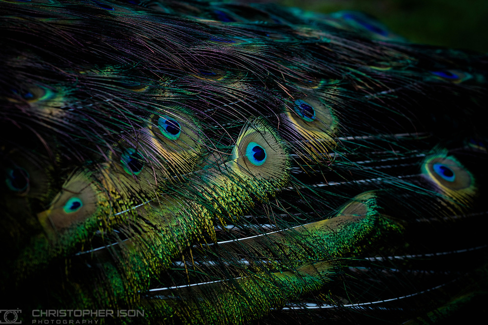 Ongoing personal project - Pierre the Peacock.<br /> Picture date: Wednesday March 15, 2017.<br /> Photograph by Christopher Ison &copy;<br /> 07544044177<br /> chris@christopherison.com<br /> www.christopherison.com