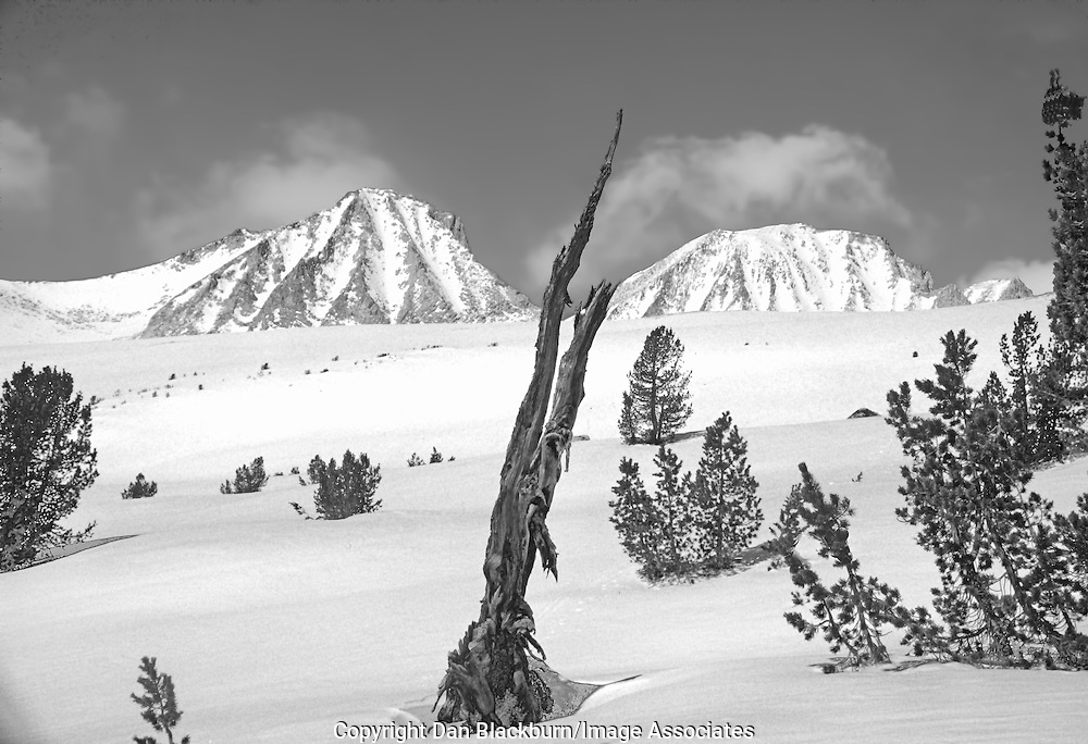 Old Foxtail Pine Rises from the Snow below the Sierra Crest in California's Sierra Nevada Mountain Range