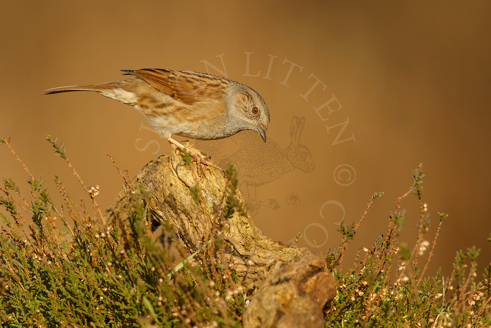 Dunnock (Prunella modularis) adult perched on fallen branch in heathland, Norfolk, UK.