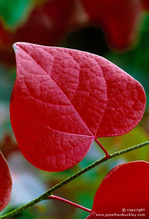 Disanthus cercidifolius in autumn colour