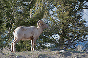 USA, Wyoming, Yellowstone National Park, Bighorn Ram, Bighorn Sheep