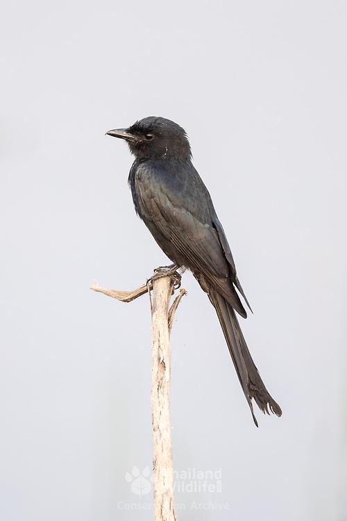 The black drongo (Dicrurus macrocercus) is a small Asian passerine bird of the drongo family Dicruridae.