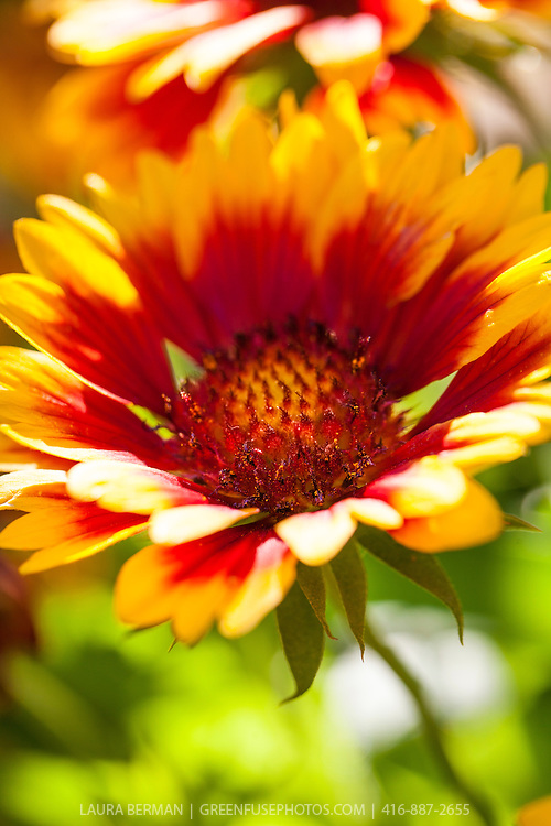 Arizona Sun Blanket Flower (Gaillardia grandiflora 'Arizona Sun')..Showy three-inch single flowers that are mahogany-red with bright yellow edges.