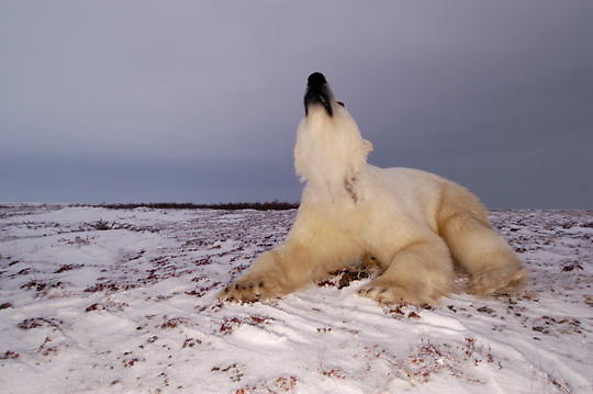 Polar Bear (Ursus maritimus) Low ground view of sub adult. Churchill, Manitoba. Canada. Winter.