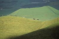 Portugal, Archipel des Açores, Île de Sao Miguel, Paturages //Portugal, Azores archipelago, Sao Miguel island