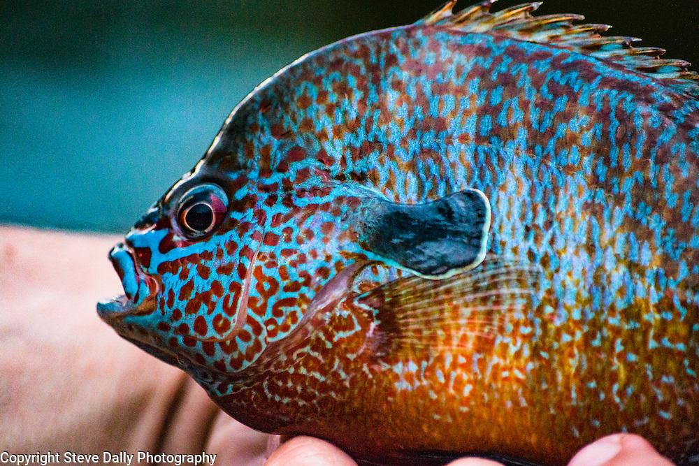 Bull Longear Sunfish from the Ozarks