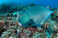 A large Bumped Parrotfish comes in for a close inspection<br /> <br /> Shot in Indonesia
