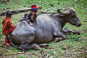 Kids of Forest Nomads known as Van Gujjar playing with a buffalo  in the forests of Chaupal region of Shimla District in Himachal Pradesh, India