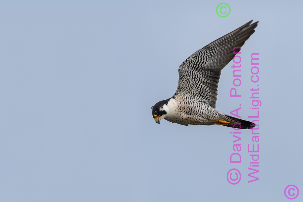 Peregrine falcon in flight looking down at potential prey, © 2019 David A. Ponton