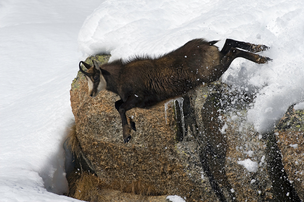 19.11.2008.Chamois (Rupicapra rupicapra) jumping down from a cliff..Gran Paradiso National Park, Italy
